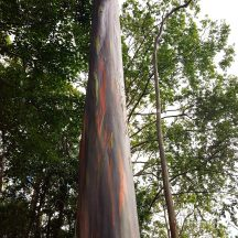 Rainbow eucalyptus (Eucalyptus deglupta) is a popular ornamental.