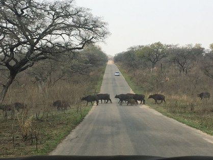 Herd of buffalo crossing the road