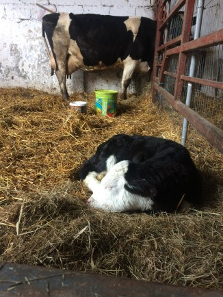 The cow in the back is the one we milked, but this little calf is just the cutest thing!