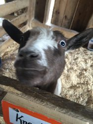 Honestly, goats are just adorably hilarious and October makes me happy because I get to see my favorite animal twice.