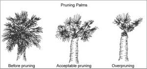 Pruning Palm Trees  UFIFAS Extension Pinellas County