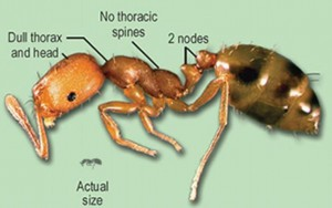 Carpenter Ants Camponotus Laevigatus Impact On Wood