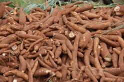Image result for Cassava