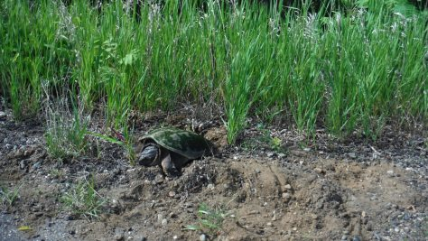 Snapping turtles love Minnesota bike trails for warm burrows.