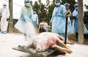Virus Afican Swine Fever atau Demam Babi Afrika