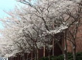 The trees next to the library are in full bloom showing off the white flowers making the walkway looks like it's from a fairy-tale land. Photo by: Jennifer Tharp, The Campus Ledger.