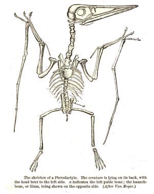 Esqueleto de Pterodáctilo, imagen de  Phases of Animal Life por R Lydekker (1892)