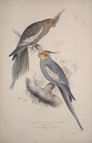 Edward Lear. Cockatiel, 1832.