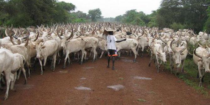 Cattle in Jonglei State