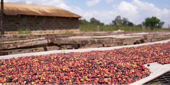 Coffee Drying - Kenya © Adam Posey