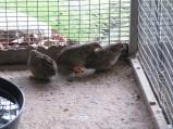 Les cailles peinte de chine vivent en groupes.