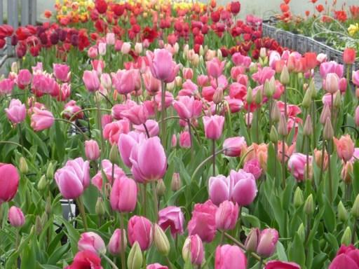 Les tulipes en fleur