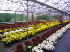 Chrysanthèmes en fleurs : large choix de couleurs
