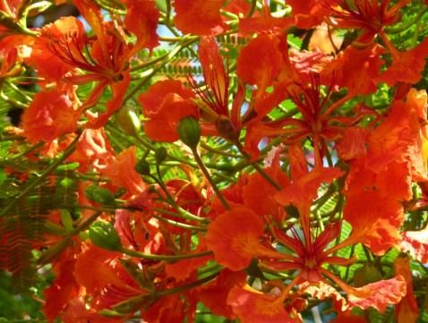 fleur flamboyant