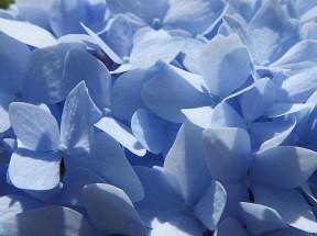 Hotensia bleu