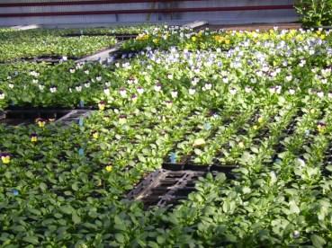 Pensées (Viola cornuta)