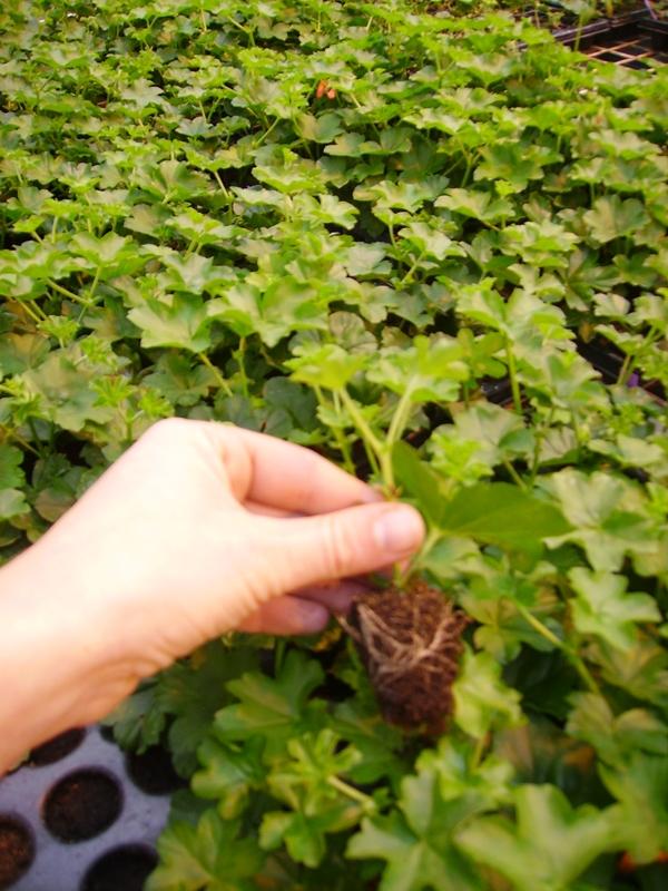 Alvéole racinée de géranium lierre, 1 mois après bouturage