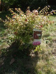 Abelia à grandes fleurs