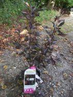 Physocarpus pourpre