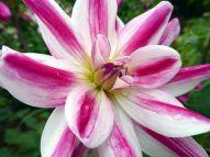 Dahlia Friandise