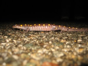 yellow spotted salamader crossing road
