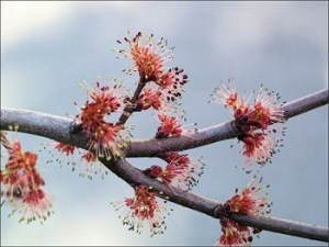 male red maple flowers