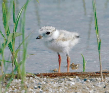 Piping plovers are protected under the Massachusetts Endangered Species Act. Photo credit: US Fish and Wildlife Service