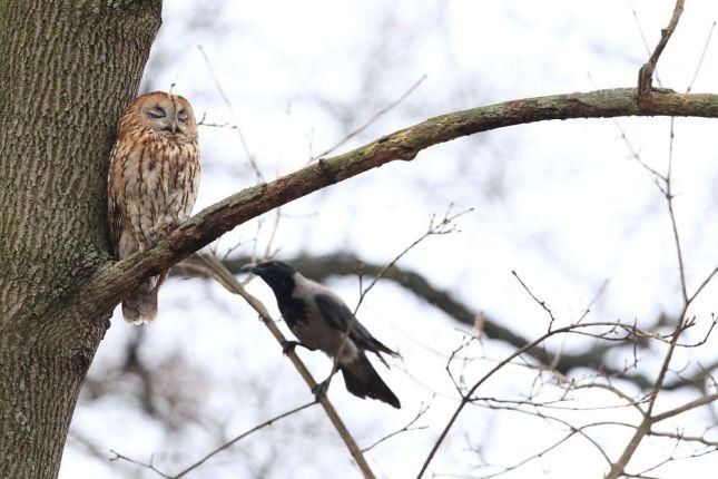 Eine Waldkauz-Mutter beobachtet argwöhnisch eine Krähe in der Nähe.
