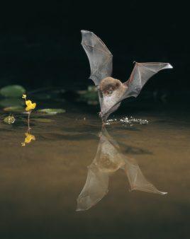 Wasserfledermaus auf Jagd © NABU/Dietmar Nill