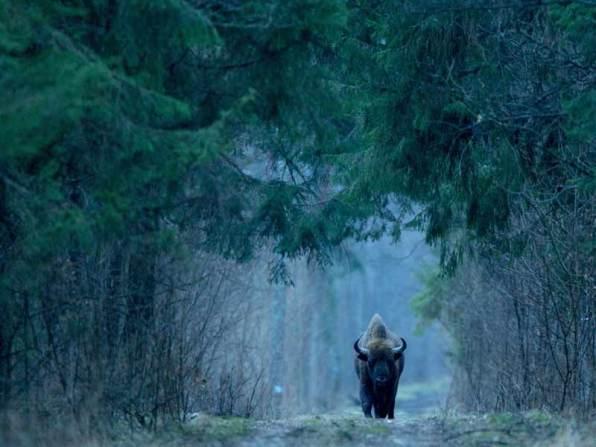 Wisent im Białowieża-Wald, Foto: Adam Wajrak (UNESCO media service)