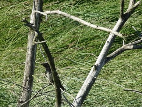 Ein Kuckuck (Cuculus canorus) auf Trischen