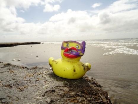 Pseudoanas lavans am Strand von Trischen