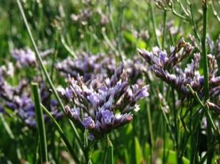 Halligflieder (Limonium vulgare)