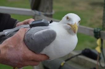 Mit GPS-Sender ausgestattete Silbermöwe auf Trischen