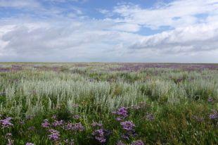Salzwiesenimpression mit Strandwermut (Artemisia maritima) und Strandflieder (Limonium vulgare; Foto: Tore J. Mayland-Quellhorst).
