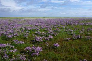 Meer aus Strandflieder (Limonium vulgare; Foto: Tore J. Mayland-Quellhorst).