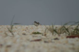 Zwei Sandregenpfeifer (Charadrius hiaticula) stehen auf Muschelschill (Foto: Tore J. Mayland-Quellhorst).