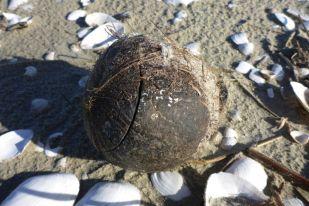 Kokosnuss am Strand von Trischen (Foto: Tore J. Mayland-Quellhorst).