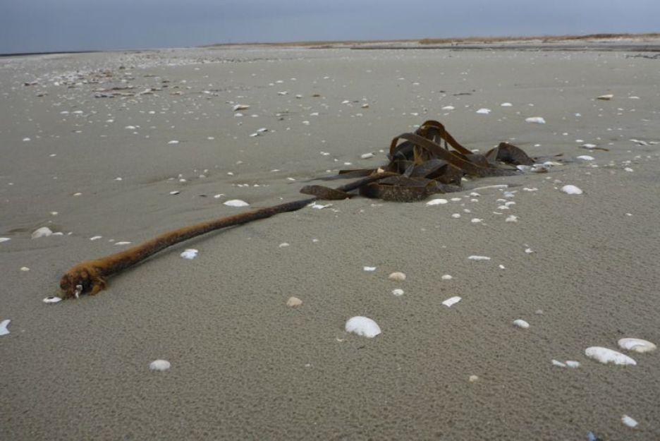 Seetang bzw. Braunalge der Gattung Laminaria am Strand (Foto: T. Mayland-Quellhorst).