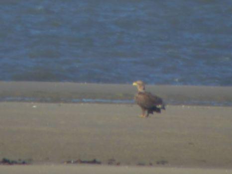 Seeadler rastet auf Sandbank (Foto: T. Mayland-Quellhorst).