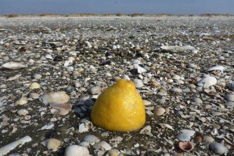 Zitrone am Strand von Trischen (Foto: Tore J. Mayland-Quellhorst).