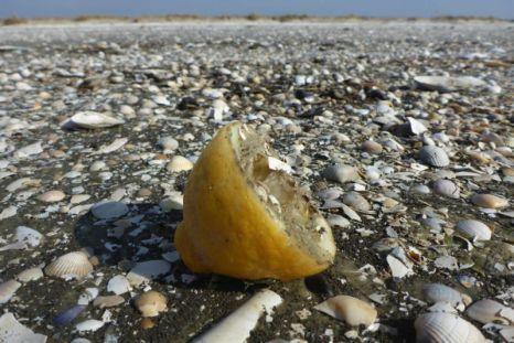 Zitrone am Strand von Trischen, leider schon entsaftet (Foto: Tore J. Mayland-Quellhorst).