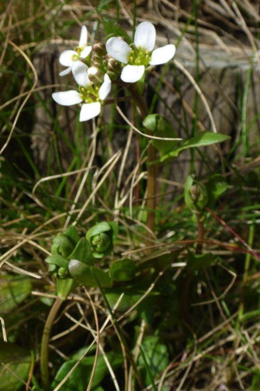 Das Englische Löffelkraut (Cochlearia anglica) blüht am Fuß der Treppe (Foto: Tore J. Mayland-Quellhorst).