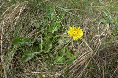 Schön gelb: Löwenzahn (Taraxacum officinalis agg.) blüht auf Düne (Foto: Tore J. Mayland-Quellhorst).
