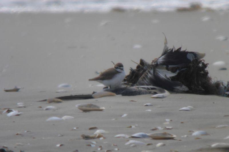 Ein Seeregenpfeifer (Charadrius alexandrinus) rastet im Windschatten (Foto: Tore J. Mayland-Quellhorst).