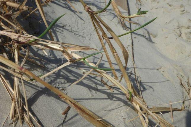 Strandroggen (Leymus arenarius) bildet lange Rhizome, um nach Übersandung wieder aus dem Sand kommen zu können (Foto: Tore J. Mayland-Quellhorst).