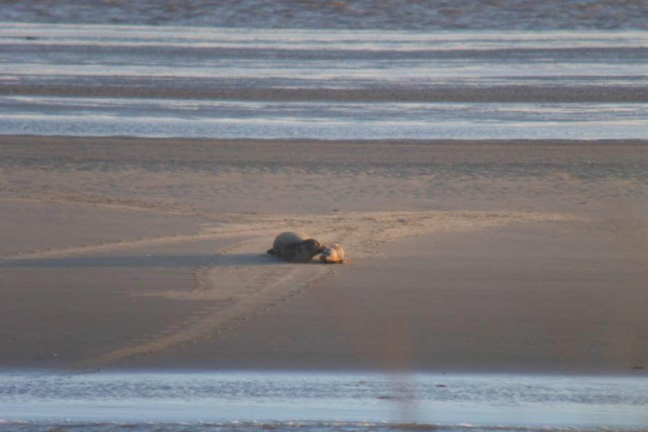 Frisch geborenes Seehundjunges wird von der Mutter liebkost (Foto: Tore J. Mayland-Quellhorst).