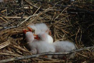Frisch geschlüpfte Löfflerküken (Platalea leucorodia; Foto: Tore J. Mayland-Quellhorst).