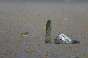 Wenige Tage altes Austernfischerküken (Haematopus ostralegus) mit Heuler (Foto: Tore J. Mayland-Quellhorst).