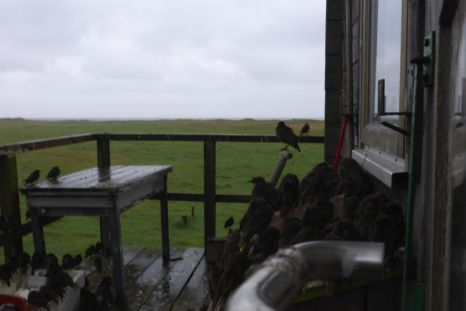 Stare (Sturnus vulgaris) suchen Schutz vor dem Regen (Foto: Tore J. Mayland-Quellhorst).